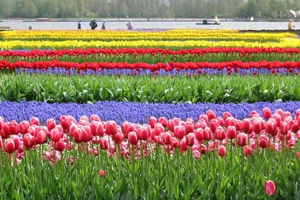 Mitchell Gallery Travels Dutch Tulips